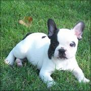 French Bulldog for a caring home