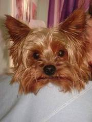 Yorkshire Terrier Stud Services for Sale
