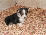 Nice Looking Pembroke Welsh Corgi Puppies