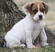Available Beagle Puppies For Sale